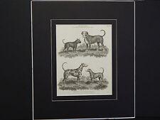 Dogs: Mastiff, Bull Dog, G'Danish/Harlequin D, & Dalmatian Dog Quadrapeds c.1806