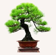 Pinus thunbergii (Japanese Black Pine) 30 Rare viable seeds - Perfect as bonsai