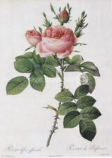 Autumn Large Damask Rose Redoute Vintage Botanical Art Poster 18x24