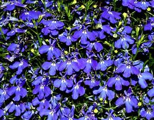 SAPPHIRE DEEP BLUE LOBELIA Flower Trailing Spreading Hanging Annual 200 Seeds
