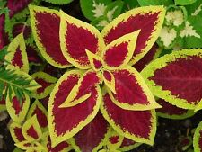 Coleus blumei - Rainbow Mixture - 250 Fresh Seeds