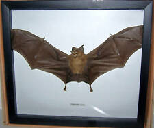 REAL DRIED BAT TAXIDERMY HIPPOSIDEROS IN SHADOWBX FRAME