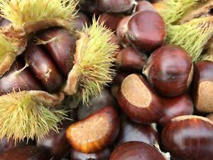 FRESH Extra Large Raw Organic Chestnuts 2021 Fall Crop Iowa-Grown, 5 LBS