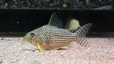 5+1 Sterbai Corydoras (Medium- Large Size) Live Fish 2Day Fedex Shipping