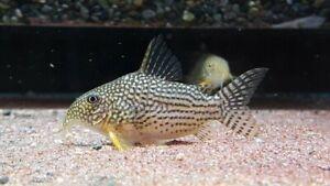 5+1 Sterbai Corydoras (Medium Size) Live Fish 2Day Fedex Shipping