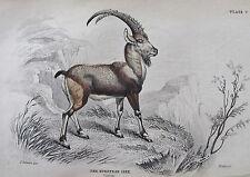 Jardine - The European Ibex - Original Copper Plate Engraving 1835 - No Reserve