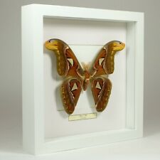 Real taxidermy butterfly mounted in white wooden frame - Attacus Atlas