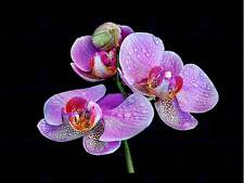 Foto Macro Close Up A Fiori Rosa Viola Orchidea art print poster mp3626b