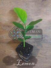 Lemon Tree seedling, Citrus limon 'Eureka', Live Plant, Fruit tree.