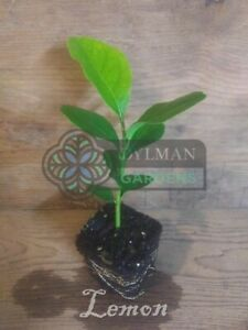 Lemon Tree seedling, Citrus limon 'Eureka', Live Plant, Fruit tree.