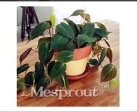 Rare Philodendron Erubescens Seeds . Garden & Home Bonsai Plant. Indoor 100seeds