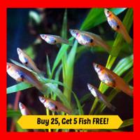 25+ Live Gambusia Mosquito Fish Aquarium Pond Feeder Fish Hardy Guppy Pet Food