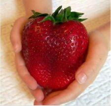 Bonsai  Real New 300seeds/pack Germination Super Giant Strawberry Apple