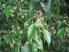 Huile essentielle de Camphrier - Camphre - pure et naturelle - 30 ml
