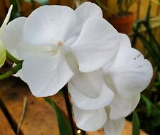 Phalaenopsis orchid all pure white potted near end of bloom