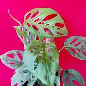 Philodendron Monstera Adansonii  * Swiss Cheese Vine * rare Indoor plant