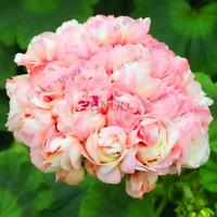 10 PCS Seeds Bonsai Geranium Perennial Flowers Pelargonium Peltatum 2019 Rare N