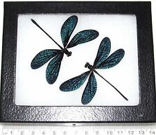 REAL 2 SPARKLY BLUE BLACK DRAGONFLY DAMSELFLY FRAMED INSECT