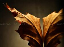 AUTUMN LEAF FALL BROWN PLANT TREE PHOTO ART PRINT POSTER PICTURE BMP1394A