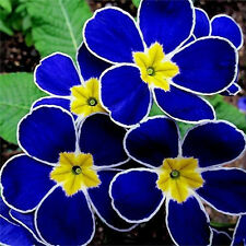 100x Blue Evening Primrose Rare Seeds Plant Potted pansy Flower Garden Outdoor