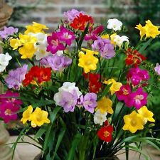 Freesia Mix - 15 Bulbs 5/6cm - Great in Containers