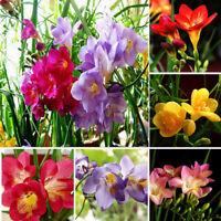100X Freesia bulbs perfume flower seeds home garden plant perennial decor,o