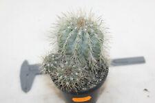 Copiapoa krainziana SIX Heads - 30 Years rare cacti cactus eriosyce weingartia