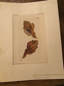 Murex - 1790  RARE SHAW & NODDER Hand Colored Copper Engraving, with description