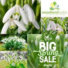 "LARGE SNOWDROP BULBS Top Quality Spring Flowering Bulbs ""Galanthus Nivalis"" 5/6"