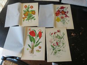 Sweat Pea/Flamingo- Favorite Flowers of Garden & Greenhouse,London 1896 4 plates