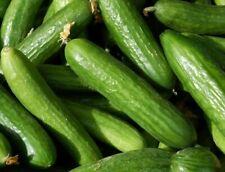MUNCHER CUCUMBER SEEDS 50+ Vegetables GARDEN culinary PICKLING FREE SHIPPING
