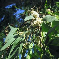Lemon Scented Gum Seed Drought & Frost Tolerant Tall Tree Pure Seed No Chaff