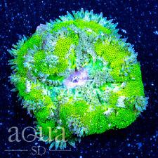 New listing Asd - 083 Toxic Waste Maxi Mini Anemone - Wysiwyg - Aqua Sd Live Coral Frag