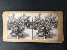 Vintage Stereo-View Stereoscopic Photo: #A126: Californian Lemon Tree In Bloom
