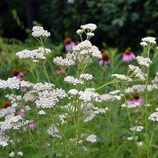 Achillea millefolium White Beauty garden hardy perennial medical cottage plant
