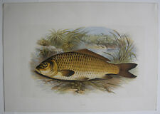 Ciprinidos karp ORIG litografía Benj Fawcett 1879 British fresh-water fishes