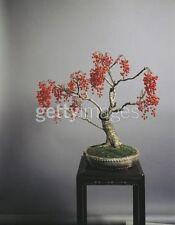 x rare seeds -- idesia polycarpa stunning red berries
