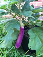 Small Shrub Surattense Medicinal Nightshade Solanum Virginianum 25 Seeds