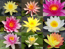 WATER LILY PLANTS 9 Named Temperate Hardy Varieties Nymphaea