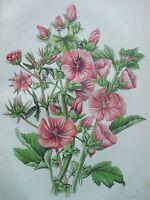 ANTIQUE PRINT DATED C1860 TREE MALLOW HISPID MALLOW MARSH MALLOW ANNE PRATT ART