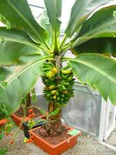 200 pcs Banana dwarf fruit trees seeds Milk Taste Outdoor Perennial Fruit Plants