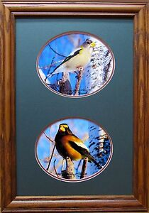 Evening Grosbeak original Giclee photo Signed & Numbered Framed and Matted LOOK
