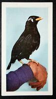 MYNAH BIRD    Vintage Colour Photo Card  VGC