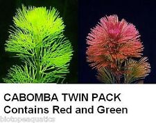 20 x Red Green Cabomba plant Pack  tropical coldwater live aquarium fish plants
