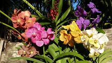 Orchid Vanda Choose your Color 4 Pack Special Exotic Tropical Plants
