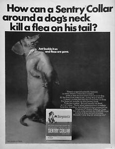 1967 Daschund Dog sitting up tall photo Seageant's Flea Collar vintage print ad