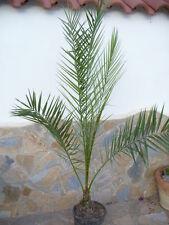 Phoenix dactylifera (Dattelpalme) / robuste  dekorative Palme ca. 155 cm hoch,