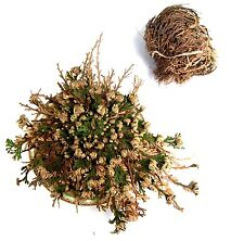 LARGE Rose of Jericho Resurrection Flower Plant Blessing Money Love Abundance