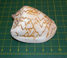 Cone Shell Australia Rare Large Display Item