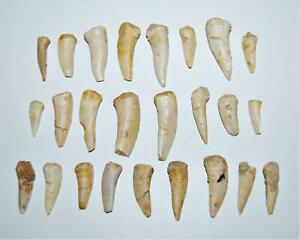 ENCHODUS Fish Tooth Fossil Dinosaur Age 1/2 to 1 1/2  inch lot of 25  #14054 4o